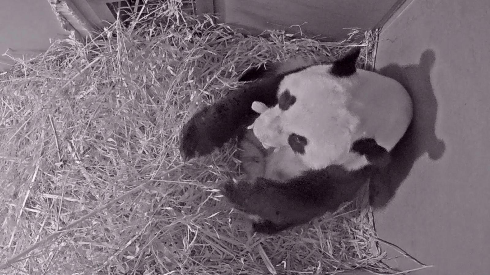 Erster Panda in Niederlanden geboren