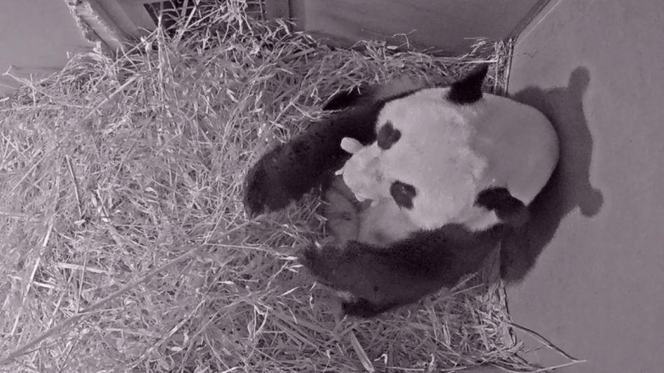 Eine Webcam im Ouwehands Tierpark zeigt, wie Mama Wu Wen ihr Junges im Maul trägt