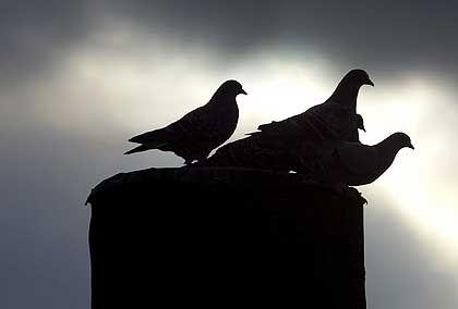 Tauben: Seltsame Pläne aus Großbritannien