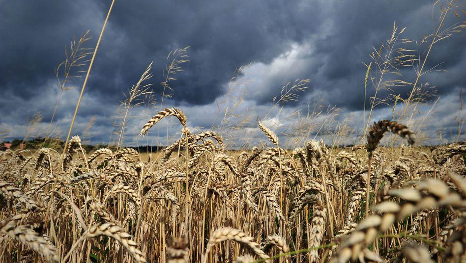 Weizenfeld: Lebensmittelspekulationen auf Kosten der Armen