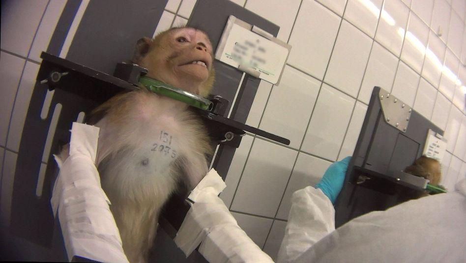 Affe im Tierversuch im Labor von LPT: Tattoonummer ausgeschnitten