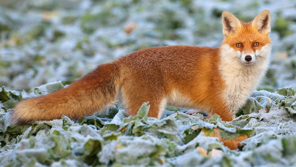 Fuchs auf einem Feld