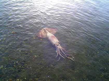 Kalmare Riesen