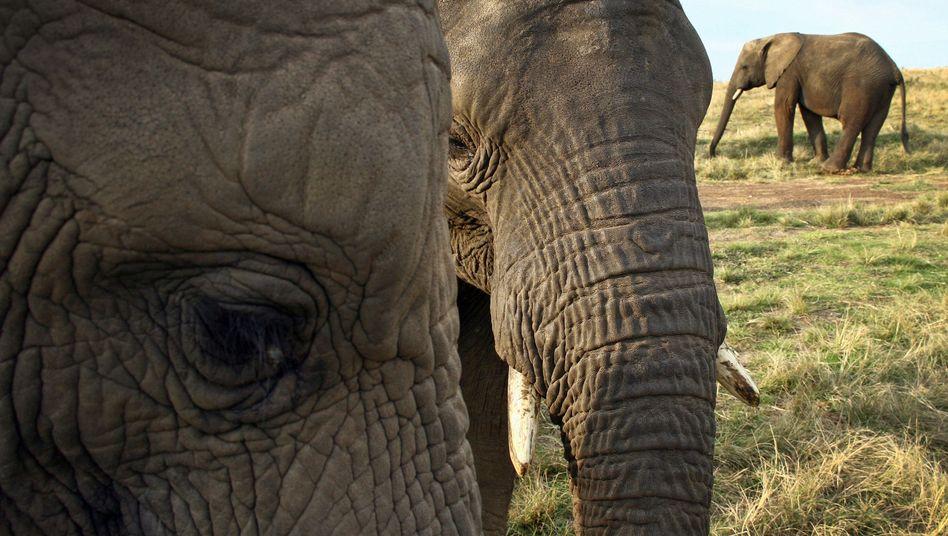 """Elefanten in Südafrika: """"An allen Fronten angegriffen"""""""