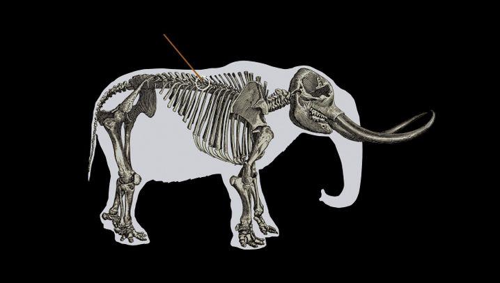 Erlegtes Mastodon: Großwildjagd vor 13.800 Jahren