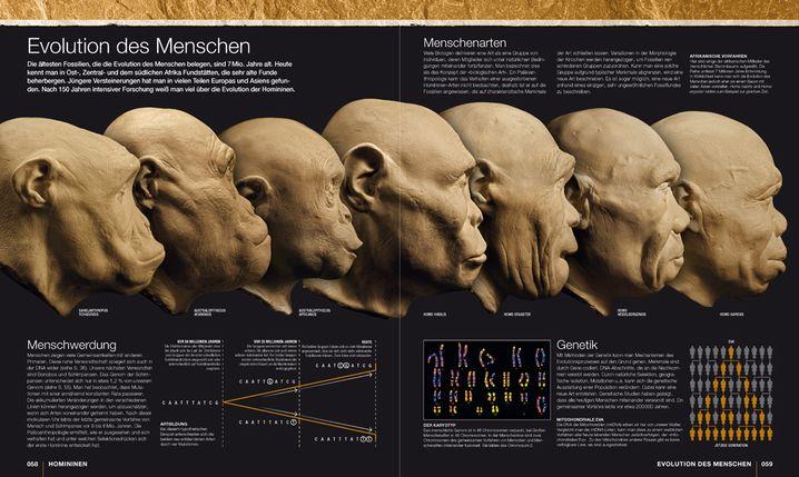 """Veränderung der Proportionen: Oben mehr, unten weniger (Abbildung aus: Alice Roberts: """"Die Anfänge der Menschheit"""")"""