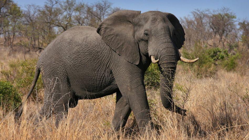 Afrikanischer Elefant im Krüger Nationalpark (Archivbild)