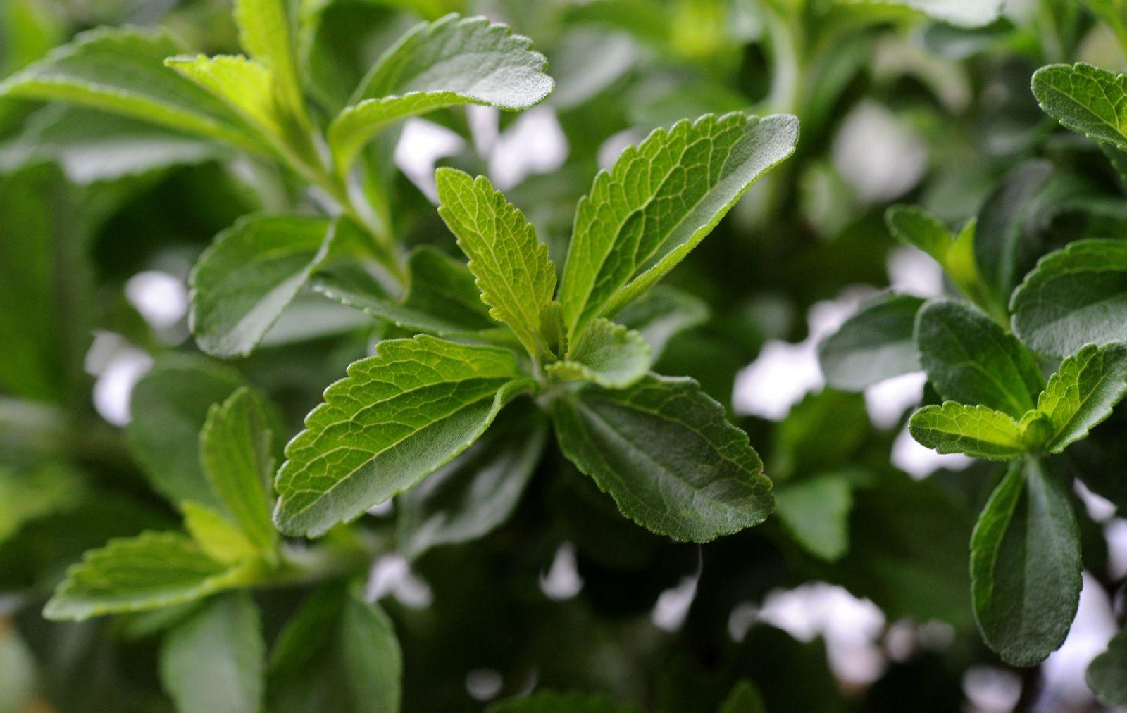 Stevia / Süßstoff