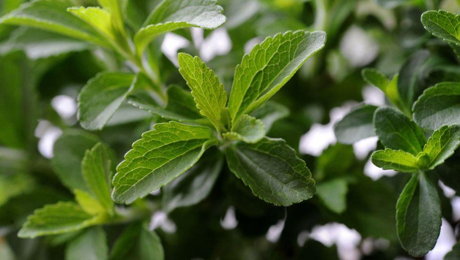 """Blätter einer Stevia-Pflanze: """"Der Star am Süßstoff-Himmel"""""""