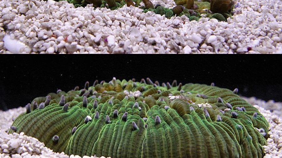 Pilzkoralle, die sich vom Sand befreit