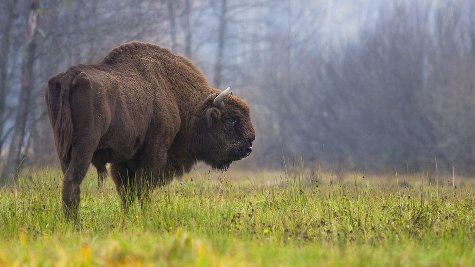 Bison im Bialowieza-Wald in Polen (Symbolbild)