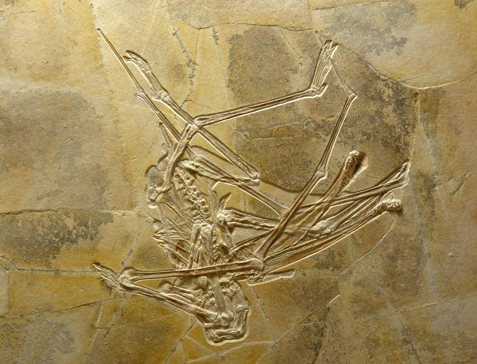 Flugsaurier-Skelett / Wattendorf