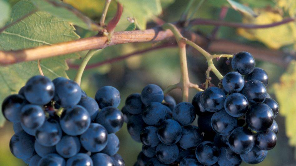 Marquette-Rebe in Minnesota: Wein reagiert empfindlich auf den Standort