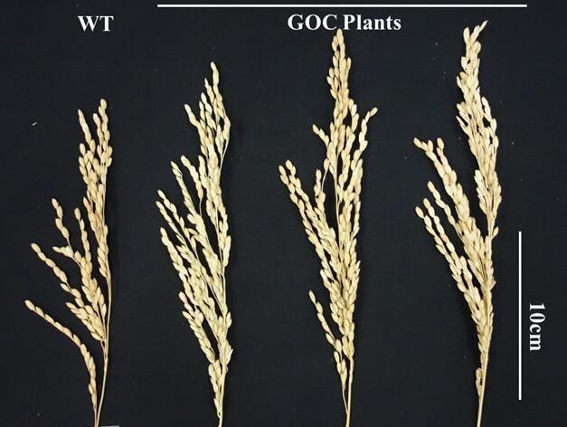 EINMALIGE VERWENDUNG Ertragssteigerung bei Reispflanzen