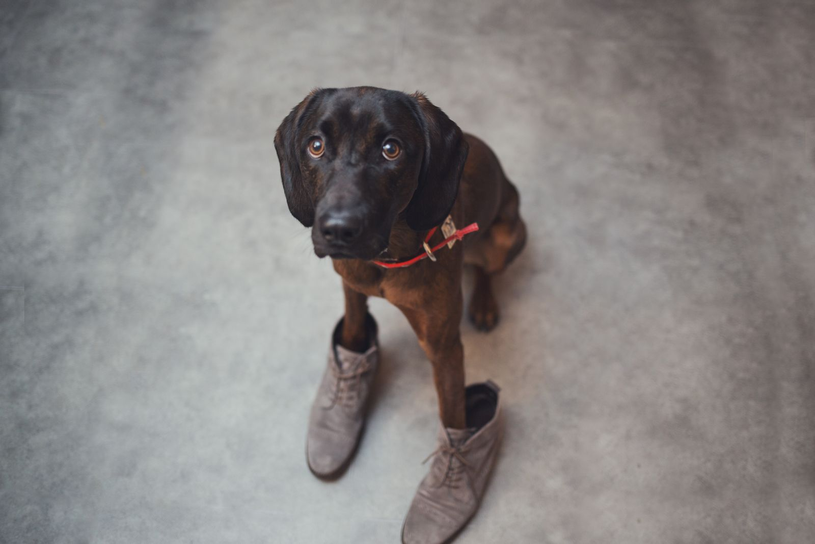Cute purebred dog wearing owner's shoes