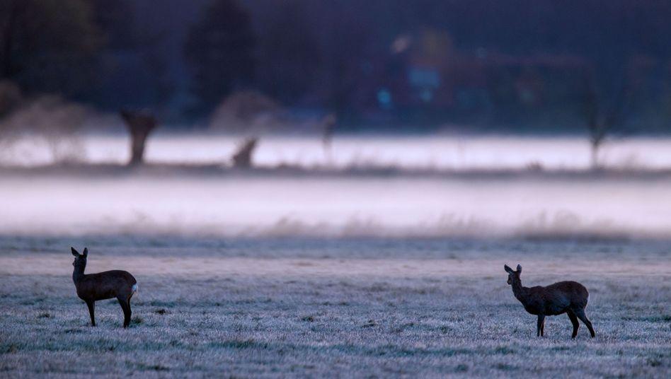 Rehe am Montag im Naturschutzgebiet Lewitz, Mecklenburg: Frische Aussichten