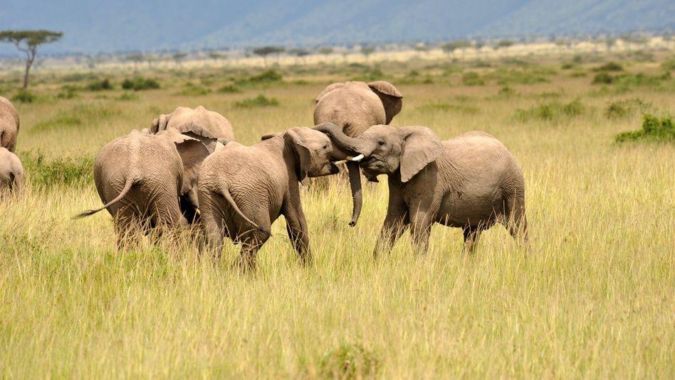 Afrikanische Elefanten beim Spiel in einem Reservat in Kenia (Archivbild)
