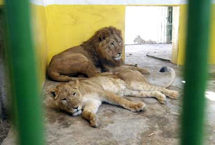 An Khalid und die Löwin Schehad trauten sich die Plünderer nicht heran