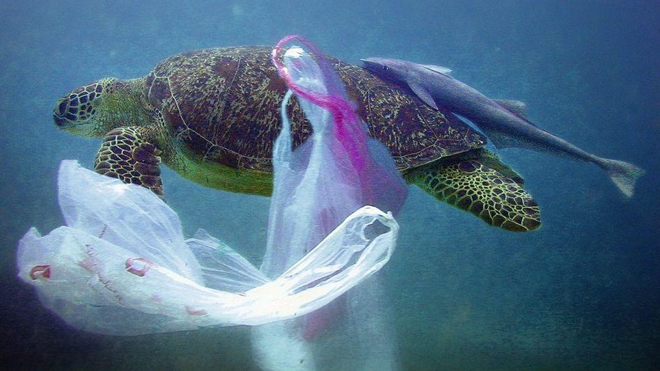 Meeresschildkröte im Indischen Ozean: Viele Tiere haben Plastik im Bauch