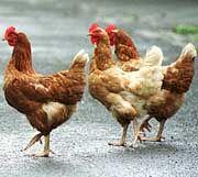 """Leiden unter """"Freiland-Stress"""": Hühner in Bodenhaltung"""