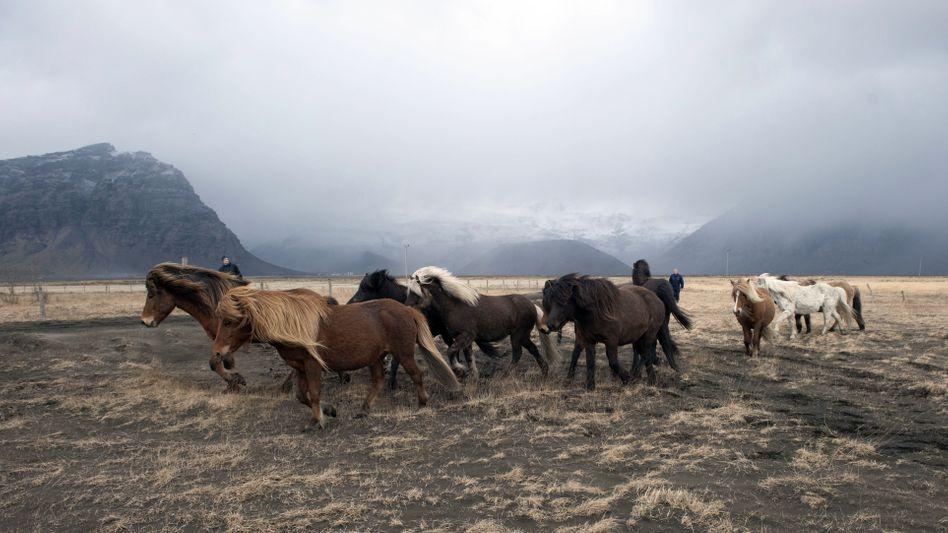 Pferde in Island: Keine Spuren von Säugetier-DNA in der Fleischpaste