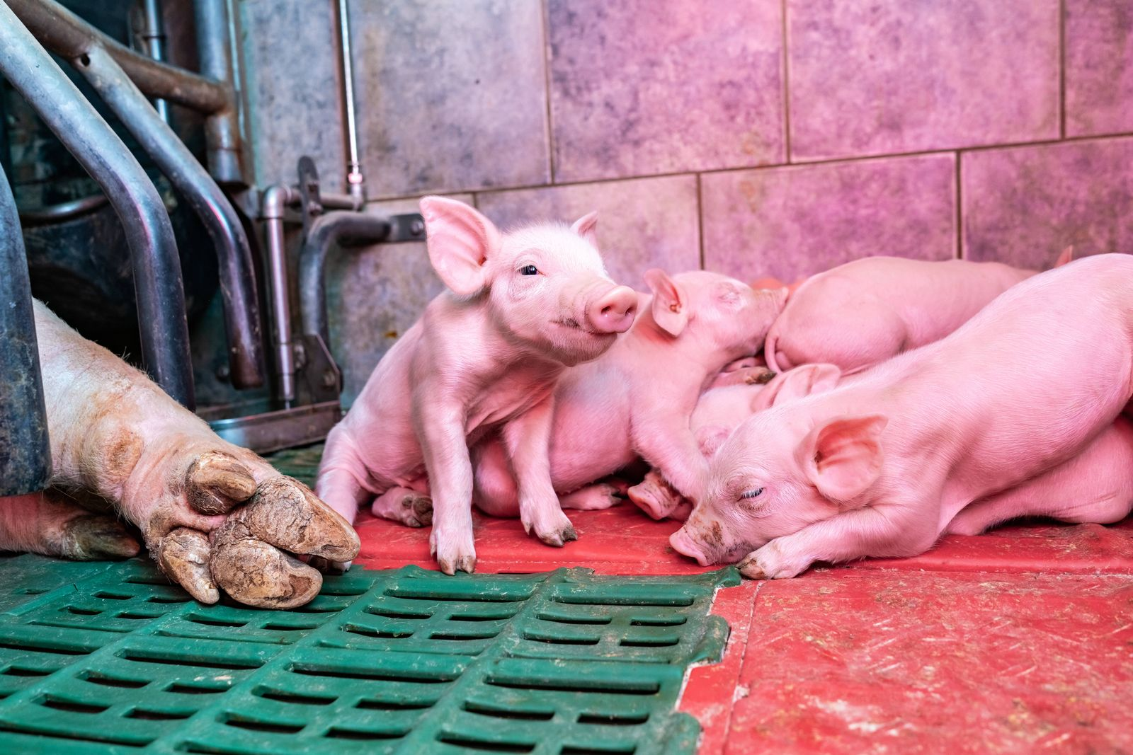 Agrarmotive aus dem Schweinestall - niedliche Ferkel im beheizten Nestbereich einer Abferkelbucht Niedliche Ferkel f¸hle