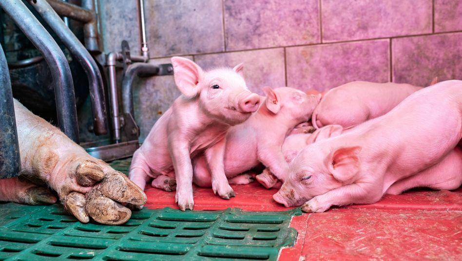 Schweinestall in Osnabrück: Wer so etwas tut, ist ein schlechter Mensch