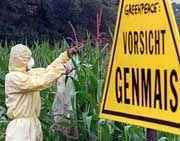 Greenpeace-Protestaktion gegen Genmais: Angst vor Risiken für Umwelt und Gesundheit