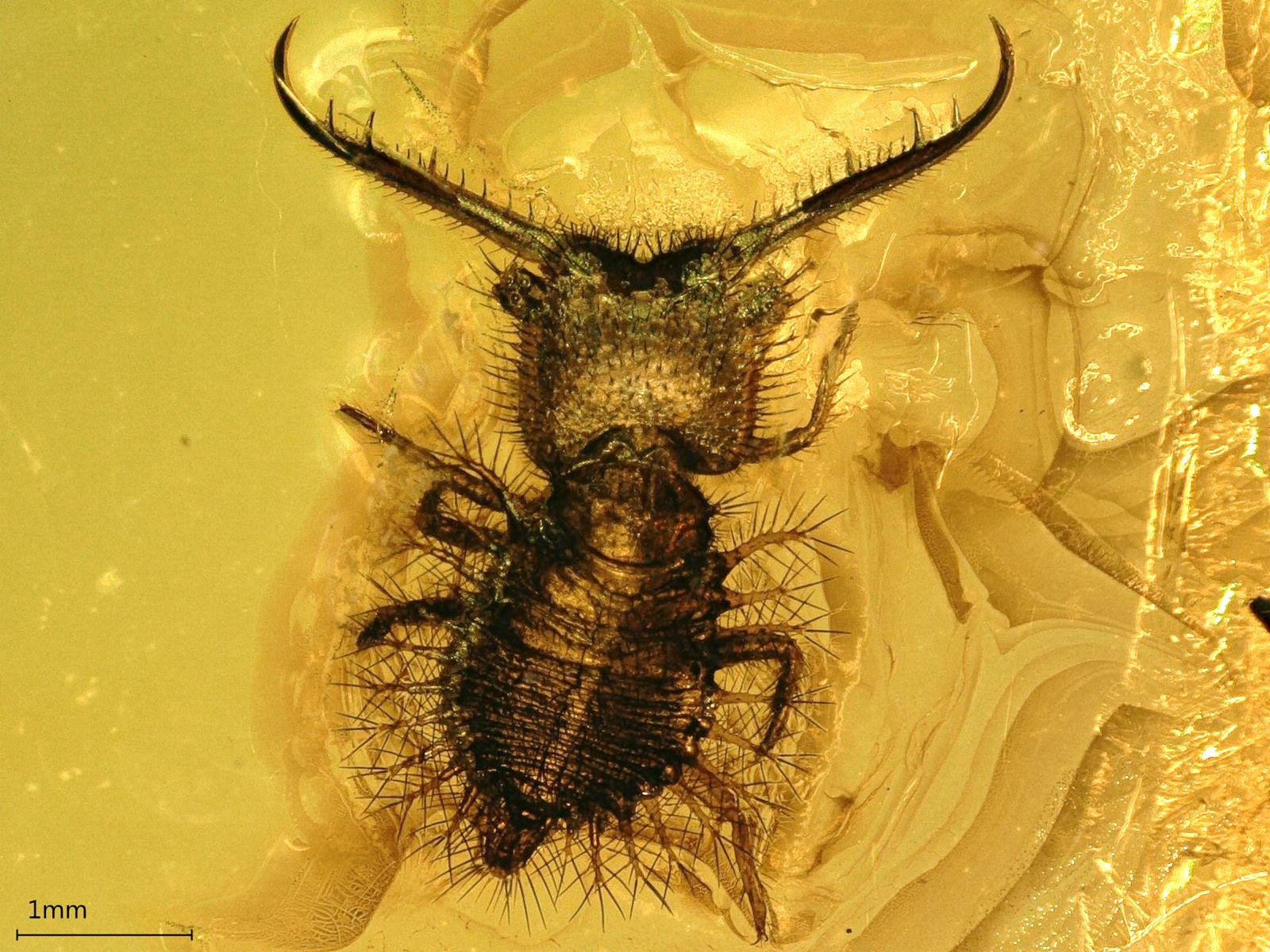 EINMALIGE VERWENDUNG Bernstein/ Insekten/ Neadelphus_protae