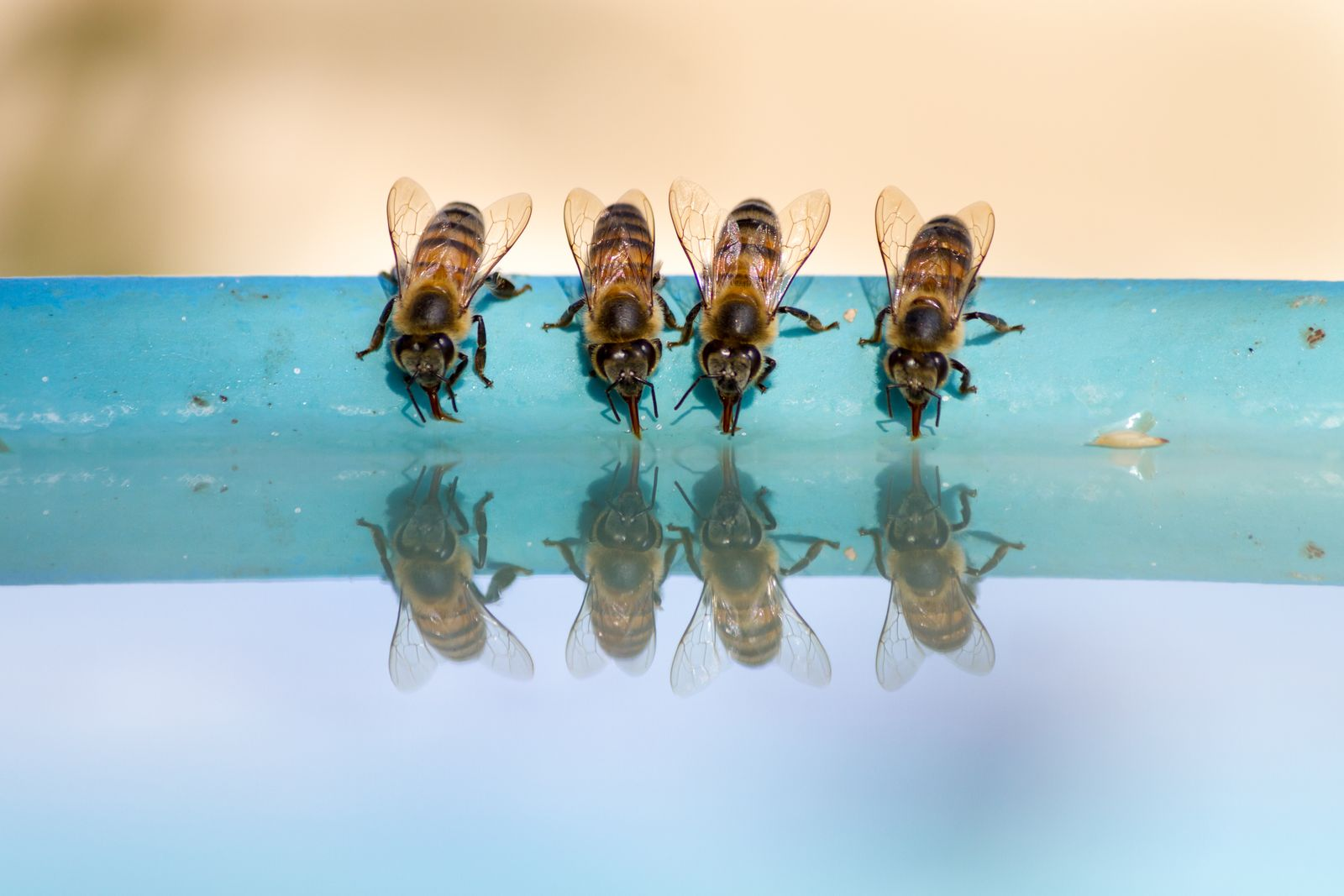 Four bees drinking water