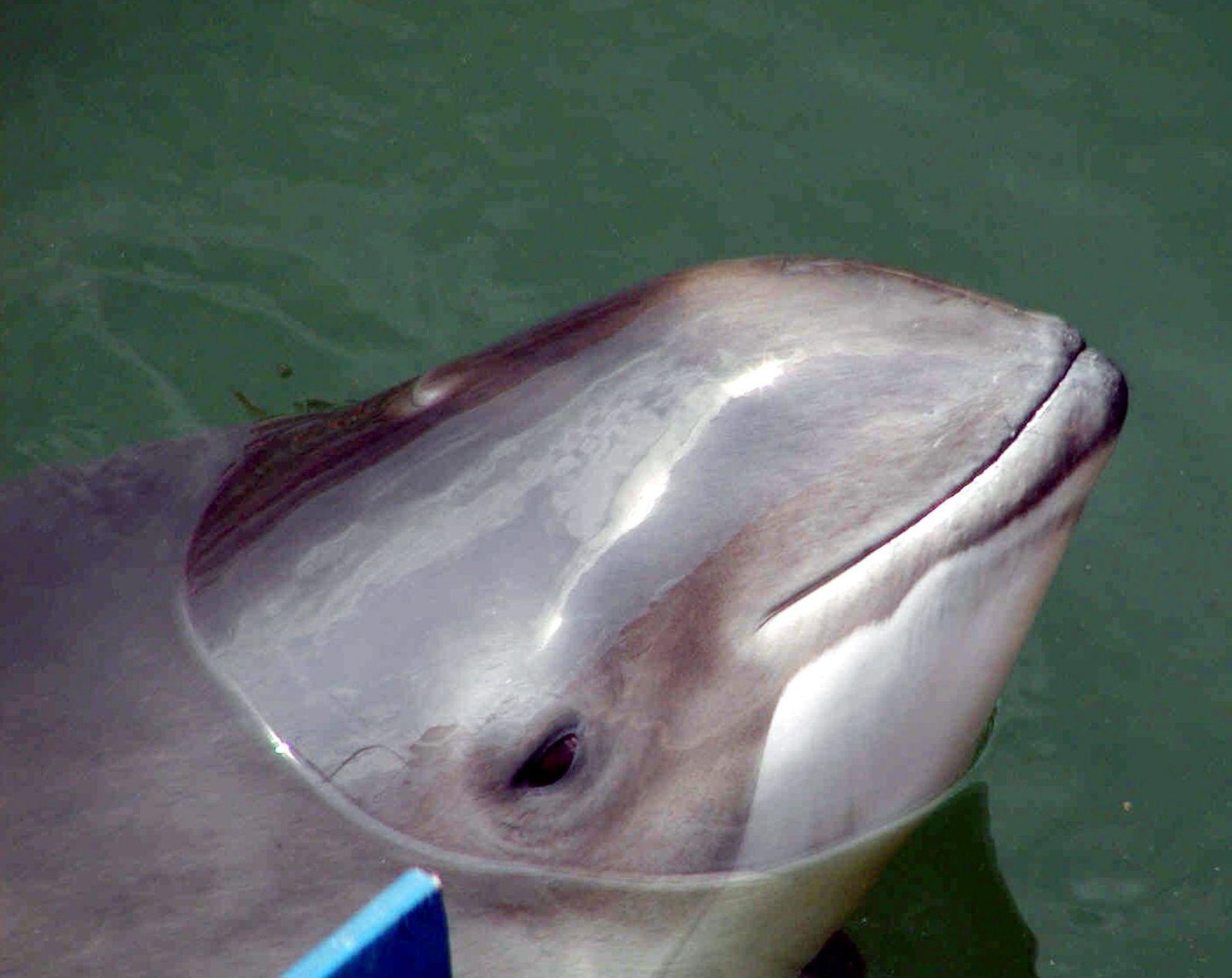 Weniger Schweinswale in der Ostsee