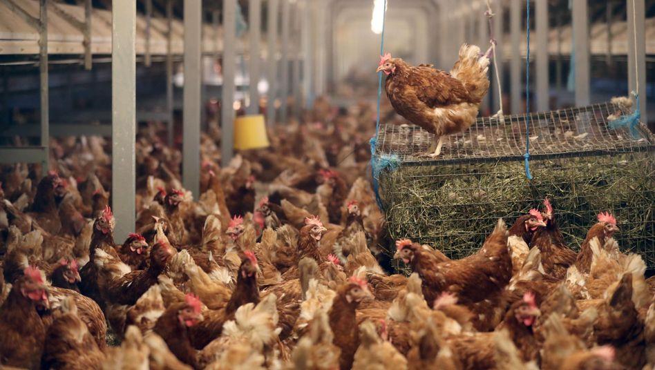 Hühner in einem Stall auf einem Geflügelhof. Das Bild stammt aus Deutschland