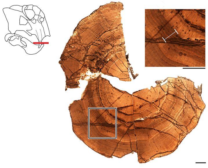 Der Querschnitt der Lystrosaurus-Eckzähne zeigt Dentinschichten, die in Wachstumsringen abgelagert sind. Oben rechts eine Nahansicht. Der weiße Strich zeigt eine Zone an, die auf einen Ruhezustand hinweist. (Balkenlänge: ein Millimeter)