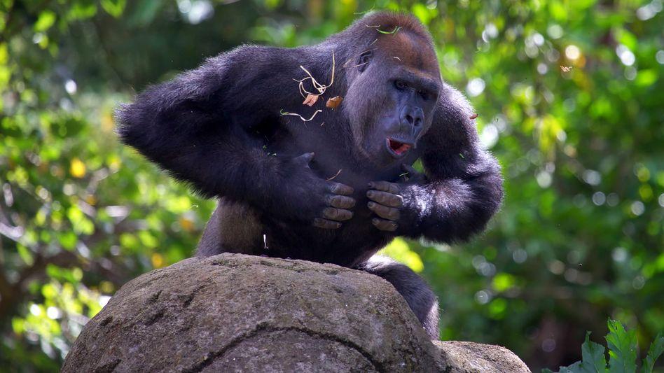 Ein Gorilla in typischer Brust-Trommel-Haltung.