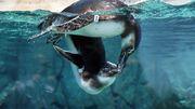 Weibchen schwimmen weiter - und stranden öfter