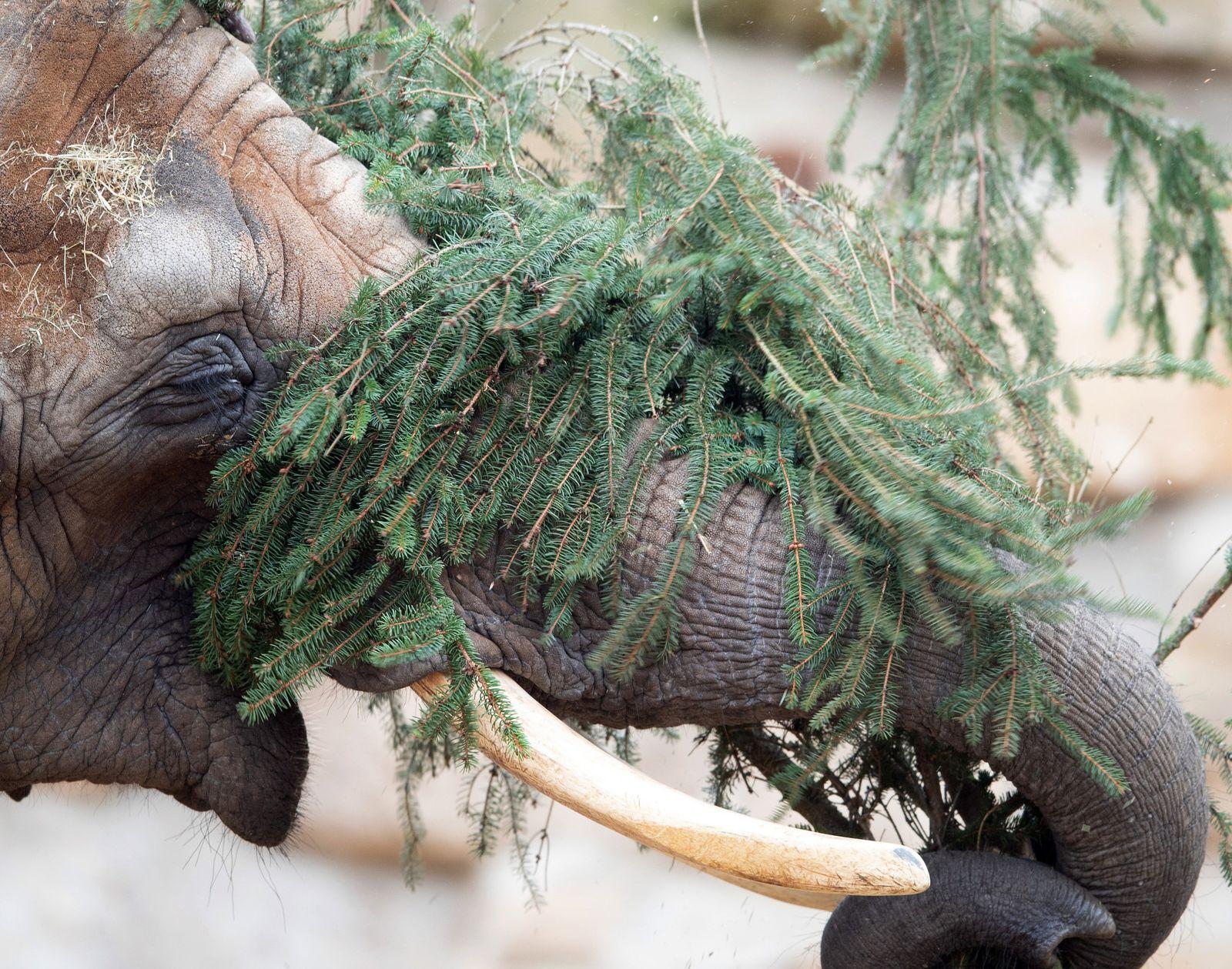 Weihnachtsessen für Elefanten