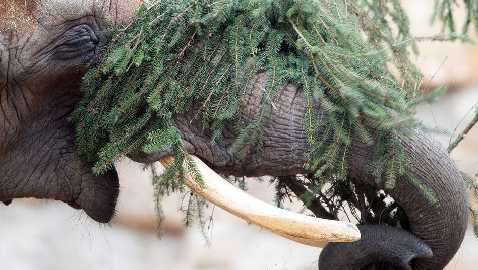 Weihnachtsschmaus nach Dreikönig für die Elefanten im Dresdner Zoo