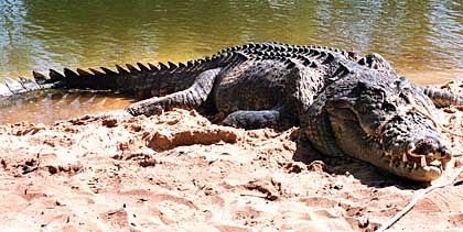 Von diesem Krokodil wurde die Touristin getötet