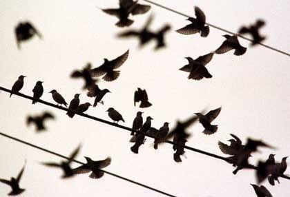 Vögel auf einer Stromleitung: Größere Vielfalt in reichen Gegenden?