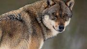 Bundestag beschließt erleichterten Abschuss von Wölfen