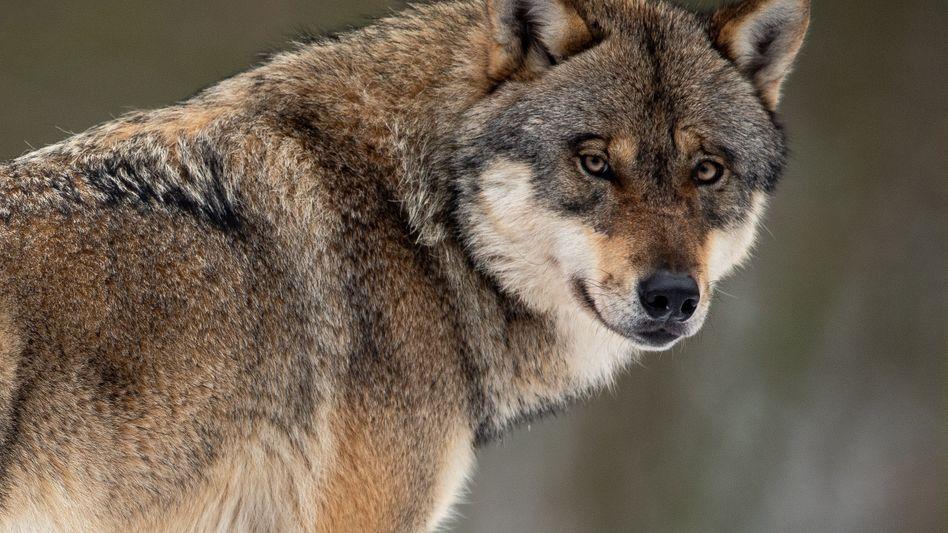 Ein Wolf in seinem Gehege im Wildpark. In freier Wildbahn soll er nun leichter abgeschossen werden