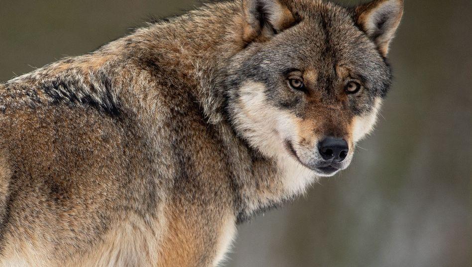 Ein Wolf in einem Gehege im Wildpark Neuhaus (Archivbild)