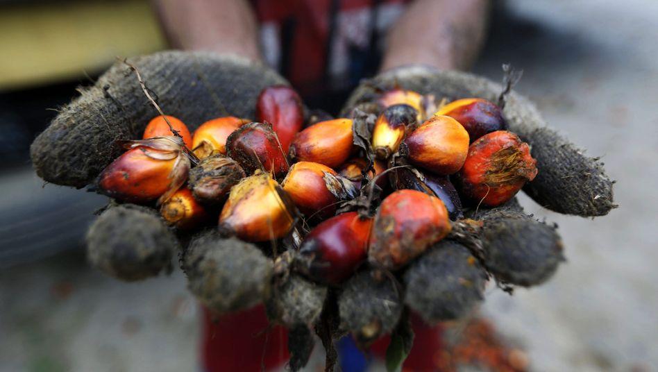 Früchte einer Ölpalme