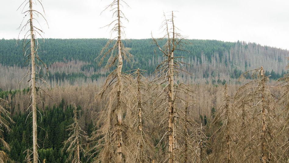 Von Borkenkäfern befallener Nadelwald im Nationalpark Harz