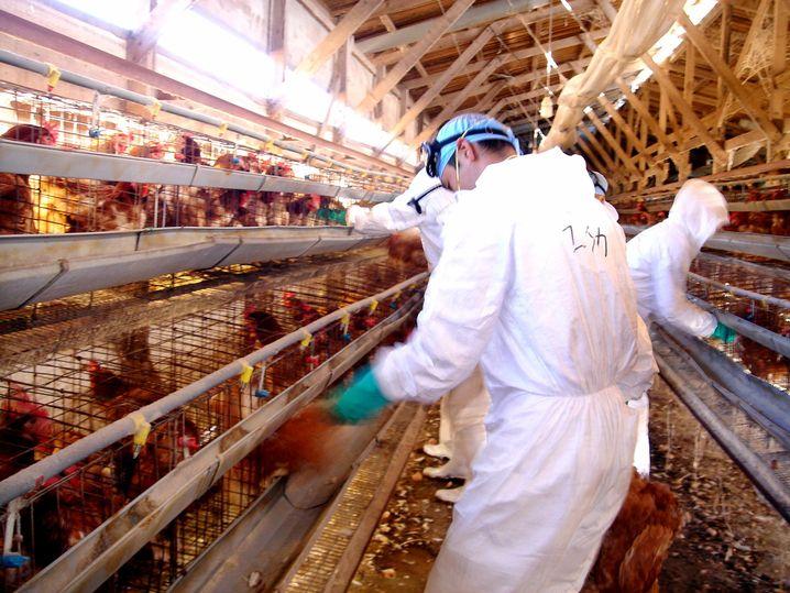Von Vogelgrippe-Virus betroffener Betrieb (2005 in Japan)