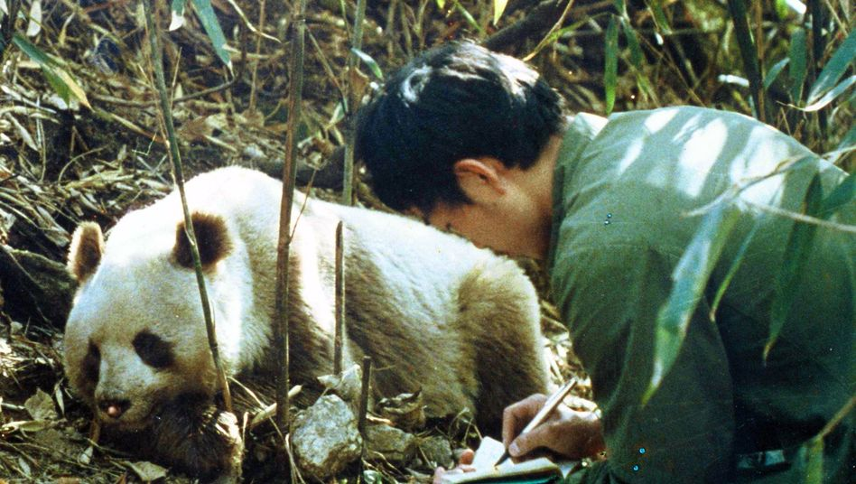 Eng verbunden: Verschwindet der Bambus, haben die Großen Pandas keine Nahrung mehr