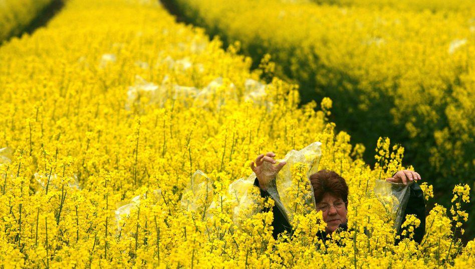 Rapsfeld: Bauern dürfen selbst Saatgut vermarkten