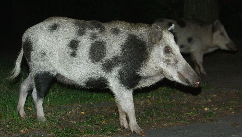 Wildschweine bei nächtlicher Tour durch Berlin (Archivbild)