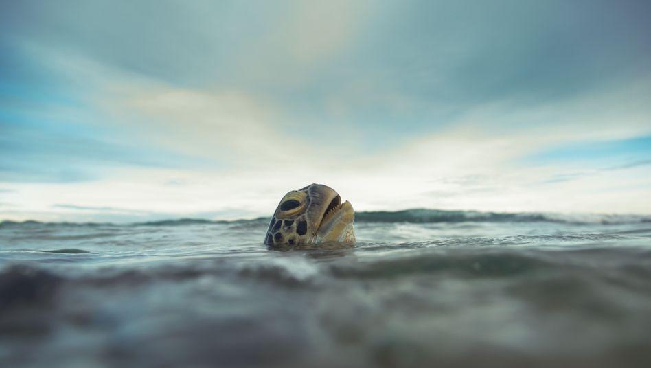 Atempause: Eine Grüne Meeresschildkröte (Chelonia mydas) vor Sri Lanka.