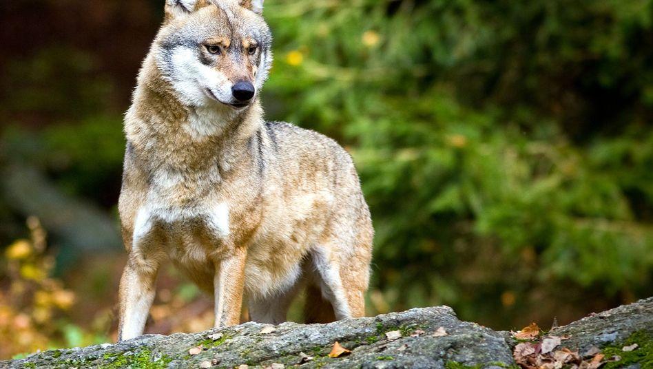Wolf im Tier-Freigelände im Nationalpark Bayerischer Wald
